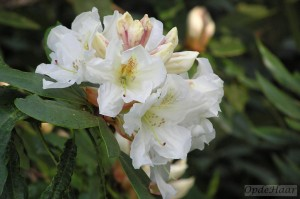 Rhododendron Bellringer Fortunei