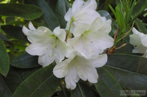 Rhododendron Helena