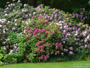 Rhododendron border