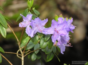 Rhododendron hippophaeoides Blue Pool