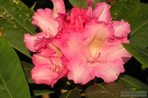 Rhododendron yakushimanum Andre hydrid
