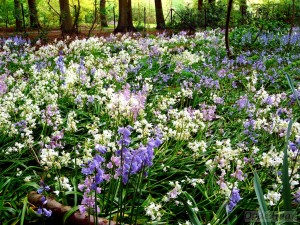 Bluebell wood in April