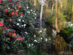 Camellia walk and reflections in March
