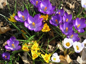 Crocus in ditch in Millennium garden