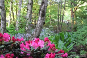 Rhododendron caucasicum Pictum and bluebells in wood in April