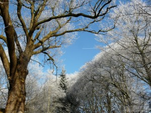 Oak tree and beech trees with hoar frost
