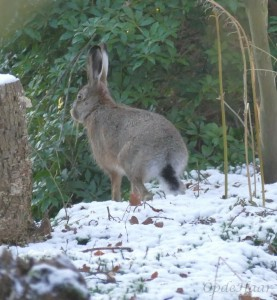 Our resident hare