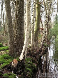 Betula (Silver birch) and beech