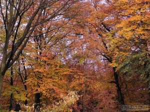 Fagus (Beech) trees in Autumn