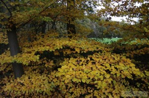 Fagus (beech) leaves in Autumn