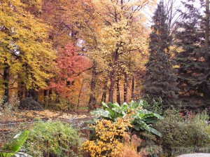 Fagus (beech) trees, Hamamelis & Abies grandis in Autumn