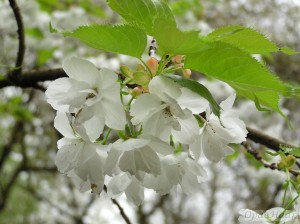 Prunus Shirotae or Mount Fuji