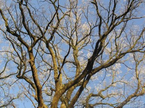 Quercus (oak)  trees on frosty morning