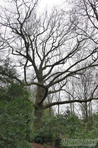 Quercus (oak) tree