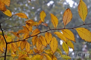 Stewartia pseudocamellia leaves in Autumn