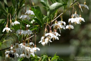 Styrax japonica Peter Pan