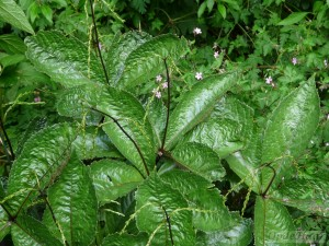 Chloranthus sessilifolius Domino