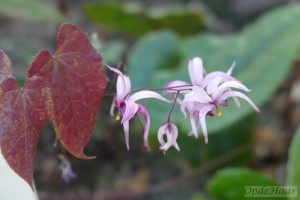 Epimedium chlorandrum Og