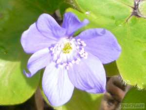 Hepatica transsylvanica Blue Eyes