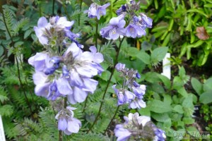 Polemonium Bressingham Purple