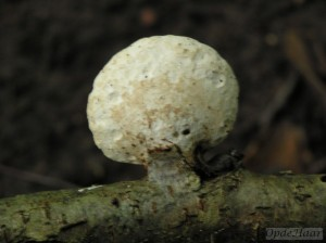 Piptoporus betulinus (Birch bracket)