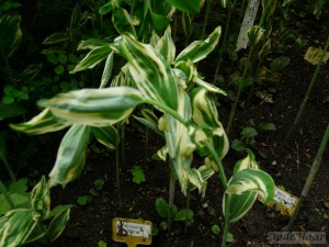 Polygonatum hyb. striatum