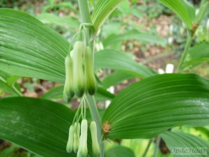 Polygonatum multiforum