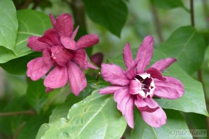 Calycanthus collection