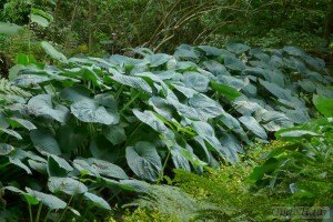 Hosta  collectie