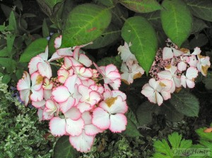 Hydrangea Macrophylla Love You Kiss