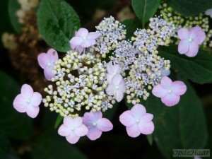 Hydrangea serrata Autumn Fire
