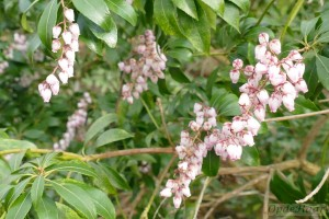 Pieris japonica March Magic
