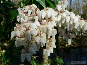 Pieris japonica Splendens