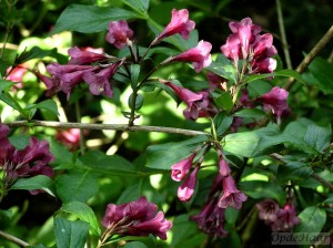 Weigela Brilliant Ruby